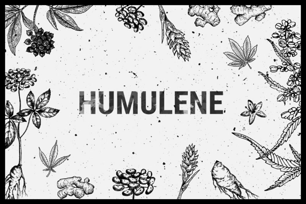 What is Humulene